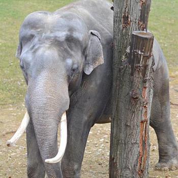 Parníkem do nového pavilonu slonů za obrázek
