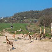Srpen – měsíc žiraf v pražské zoo
